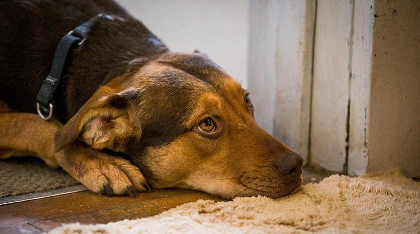 Sorties à la maison : A Dog's Way Home